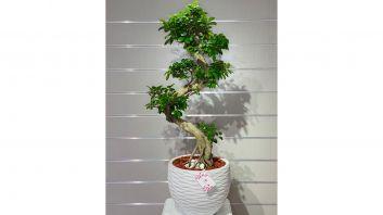 Bunsai Plant