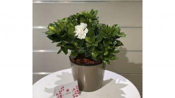 Vases Gardenia